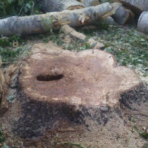 Спиливание дерева в Туле