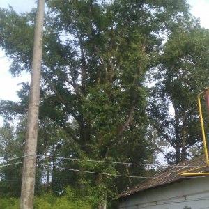 Кронирование дерева в Тульской области