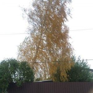 Спил дерева целиком с естественным наклоном