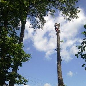 Спиливание старого дерева по частям