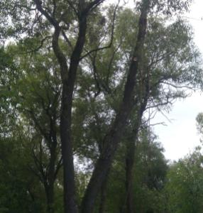 Расчитска территории от деревьев