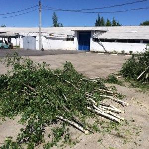 Обрезка ветвей березы в Туле