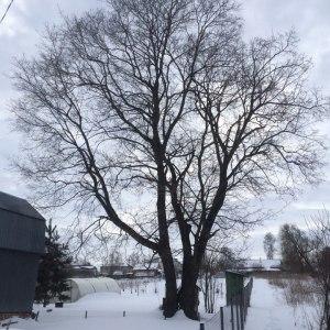 Кронирование деревьев в Туле и Тульской области