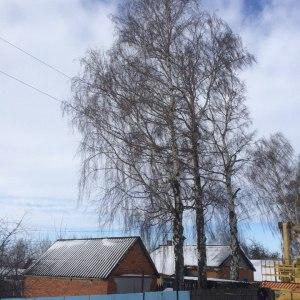 Удаление старых деревьев в Тульской области