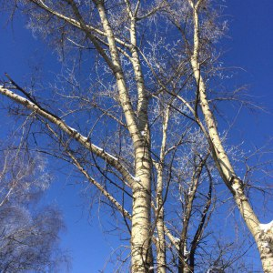 Удаление старых деревьев в Туле