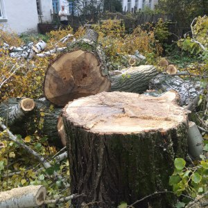Спил деревьев в Туле