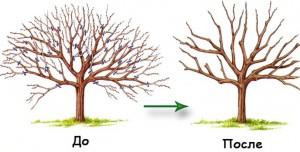 Иллюстрация к услуге кронирования деревьев